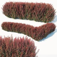 Berberis thunbergii # 6 atropurpurea nana customizable hedge