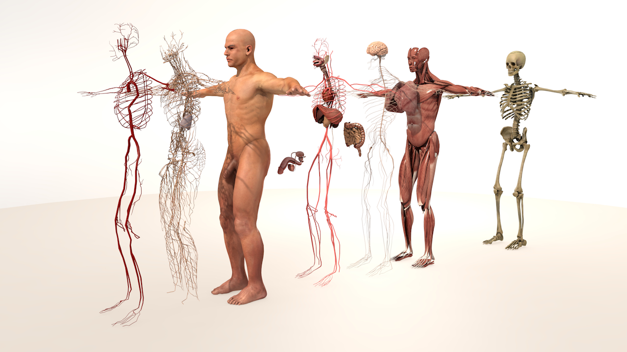 3D model complete male body anatomy