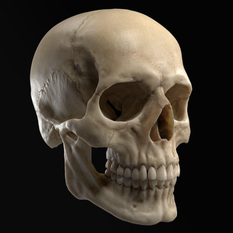 3D sculpted human skull model