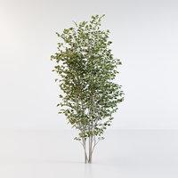 Fraxinus griffithii Tree