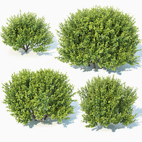 3D sempervirens buxus model