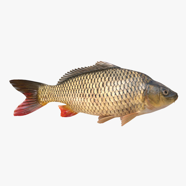 3D european carp animation