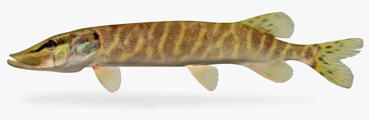 esox lucius northern pike 3D model