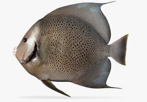 grey angelfish 3D