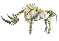 3D rhino skeleton animal