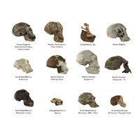 Realistic Collection Skull Human Evolution