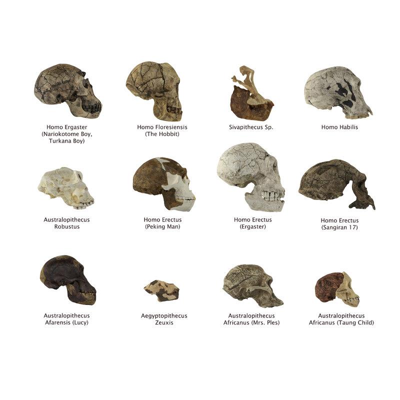 human skulls evolution model