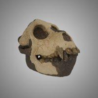 3D skull aegyptopithecus zeuxis