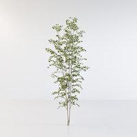Fraxinus griffithii Tree 3