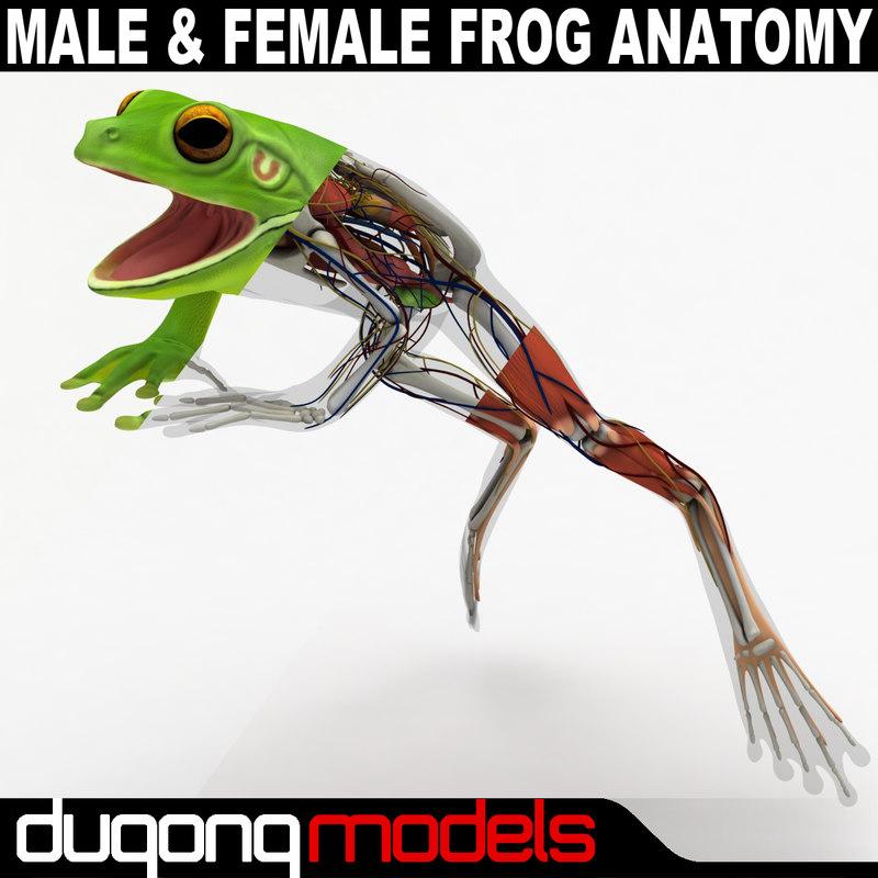 3D anatomy frog body male
