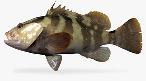 nassau grouper 3D model