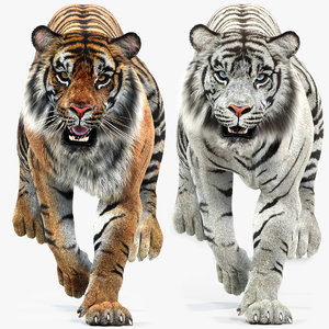 tiger white natural animations 3D model