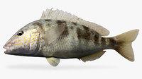 3D pigfish fish
