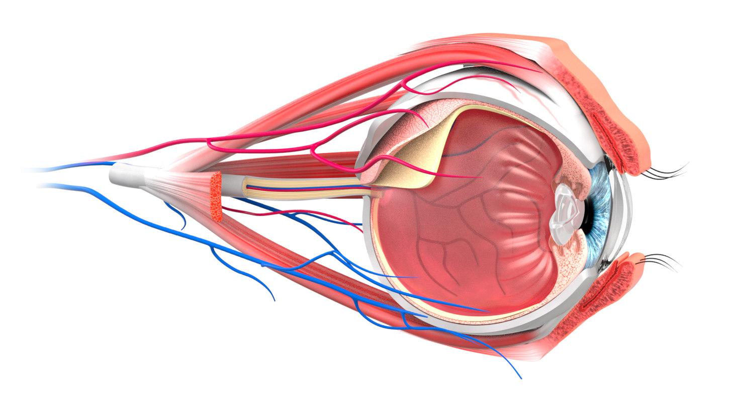 3D eye section