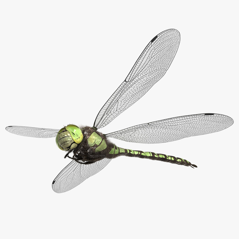 dragonfly southern hawker 3D