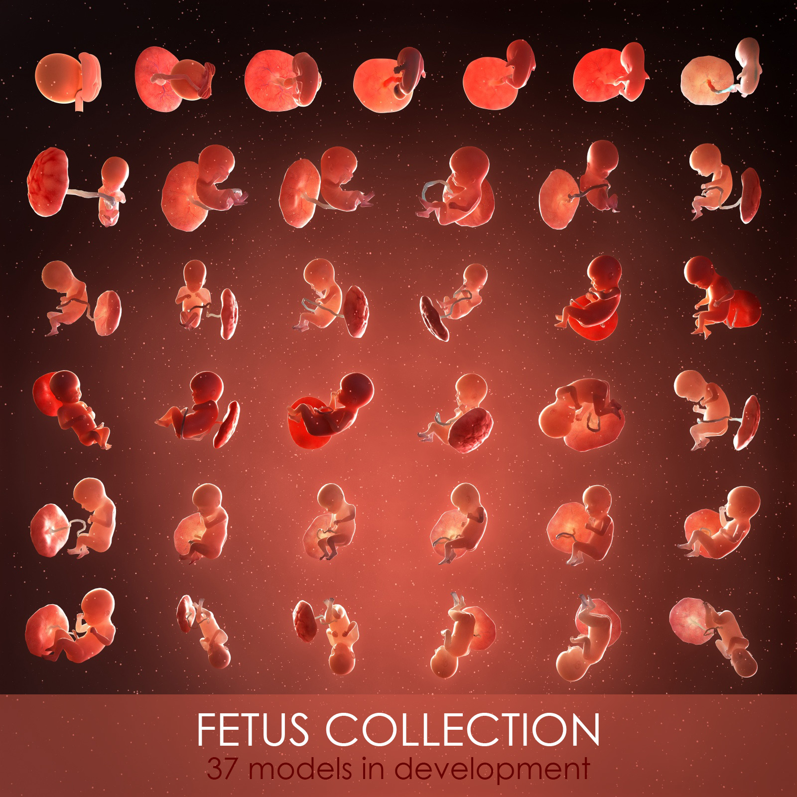 3D fetus 37 development