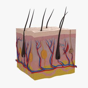 cross section human skin 3D model