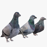 pigeon bird animal 3D