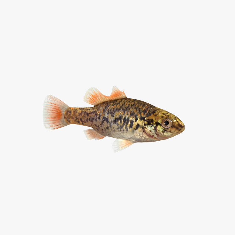 3D southern perch animation