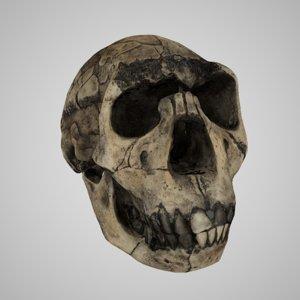 skulls homo ergaster nariokotome 3D model
