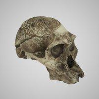 Realistic Australopithecus Africanus Mrs Ples