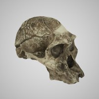 human skulls australopithecus africanus 3D model