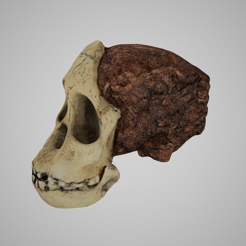 3D human skulls australopithecus africanus model