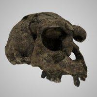 3D human skulls homo erectus