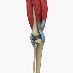 knee joint bone 3D model