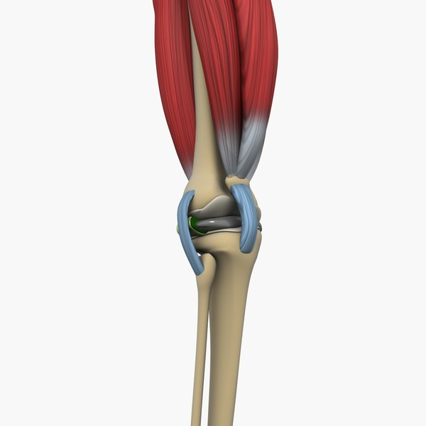 knee joint bone 3D model