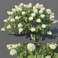 hydrangea paniculata limelight 3D model