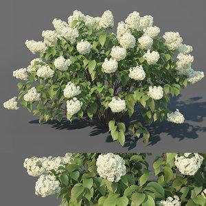 hydrangea paniculata limelight 3D model