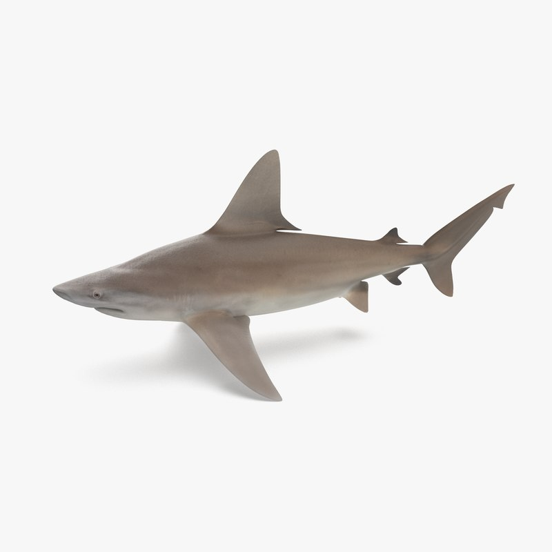 3D sandbar shark