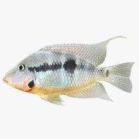 firemouth cichlid 3D model