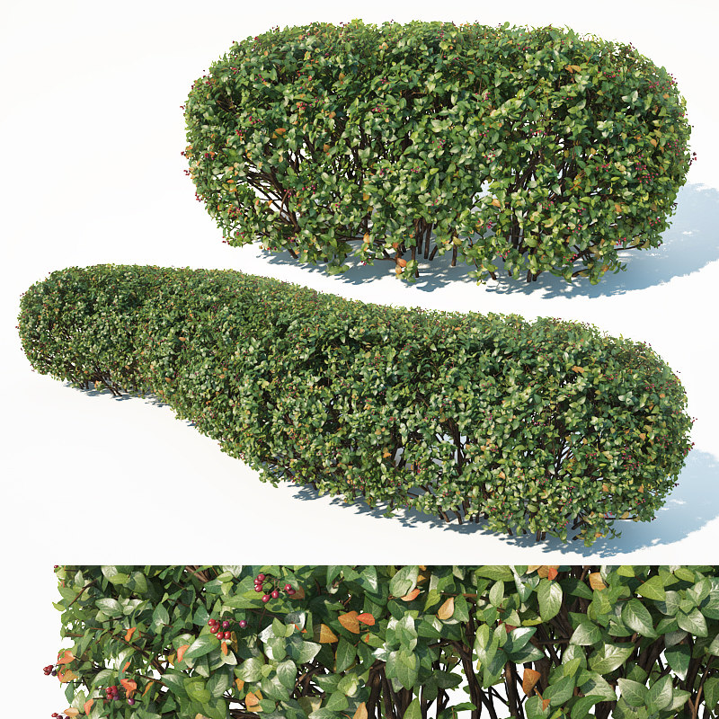 hedge cotoneaster 3D