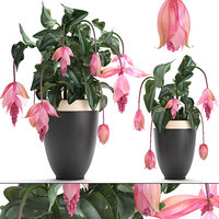 3D medinilla magnifica plants flowers model