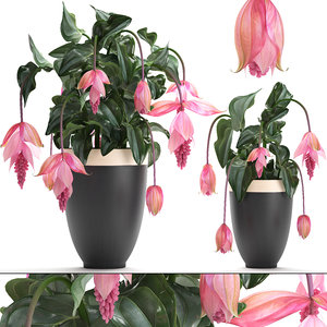 3D medinilla magnifica plants flowers model