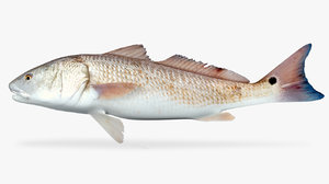 red drum 3D model