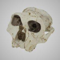 skulls australopithecus robustus 3D model