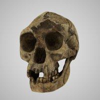 Skull Realistic Homo Floresiensis