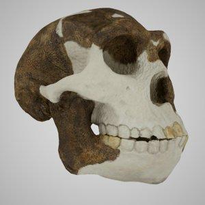 3D skulls homo erectus peking