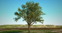 3D maple oak tree