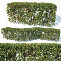 Cotoneaster lucidus # 3 customizable transparent hedge