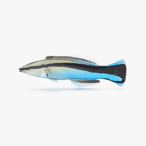 3D model cleaner wrasse