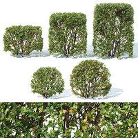 Cotoneaster lucidus # 5 transparent cube, sphere hedge 5+5 pcs