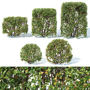 hedge cotoneaster cube 3D
