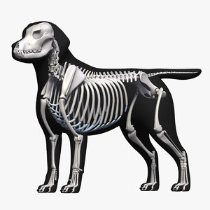 dog skeleton 3D