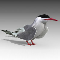 arctic tern animations 3D