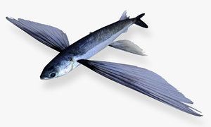 smallhead flyingfish 3D model