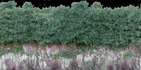 H025 ivy hedge wall